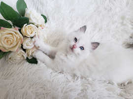 TICA ACTIVE RAGDOLL BOY AVAILABLE