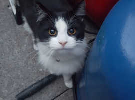 Male black and white long haired cat