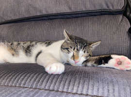 [EVERYTHING INCLUDED] 10 Month Tabby White Kitten