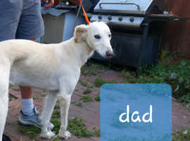 Collie whippet greyhound/suluki greyhound x suluki pups