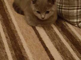British Shorthair kitten(male)