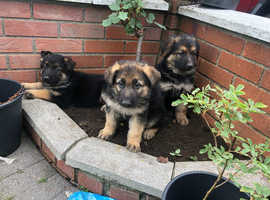 3 stunning alstation puppy's