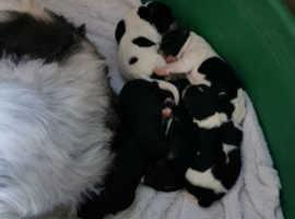 Beautiful babies shitzu/ snauzer