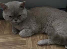 Very rare Selkirk Rex boy cat for sale