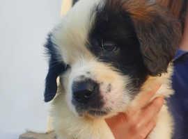 Beautiful St Bernard Pups for sale