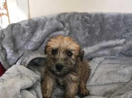 Wheaten Terrier puppy's