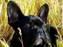 Beautiful French Bulldog Puppy Female