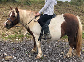 Genuine children Shetland mare
