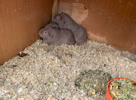 lilac guinea pig Boars (male)