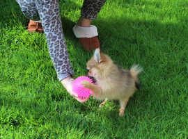 Pedigree KC registered Pom puppy girl for sale