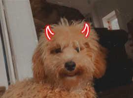 Toy poodle x
