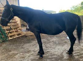 15.2 Irish tb mare