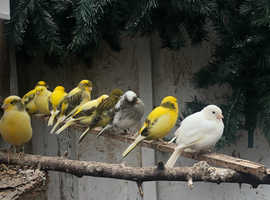 28 Fife canaries mixed