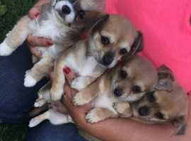 Three quarter chihuahua cross jack Russell puppies for sale