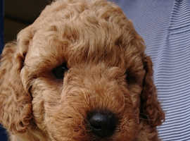 Miniture poodles kc registered, insured with the kennel club.