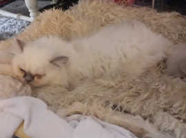 Cream Colourpoint Girl and Solid Blue Boy - fabulous Persian kittens