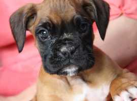 Best And Finest Full European Boxer Bloodlines
