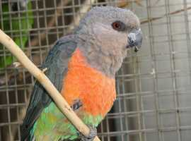 WANTED - Male Red Bellied parrot