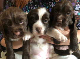Beautiful sprocker puppies
