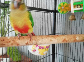 Baby yellow sided green cheek conure