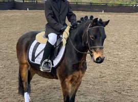 Show Pony 12hh British Riding Pony