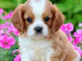 Wanted boy cavalier king Charles spaniel puppy
