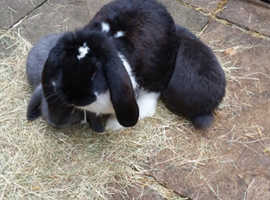 Lovely Chunky Giant French Lop Baby Boy - Vaccinated - READY NOW