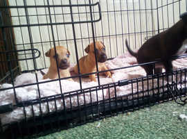 Patterdale X parson Russell terrier puppies
