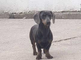Male dachshund