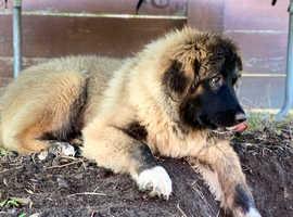 Caucasian shepherd