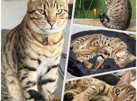 Missing 'Monty' cat
