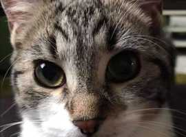 MISSING TABBY CAT ROWLEY REGIS AREA