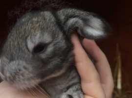 Agouti giant french lop ready end November