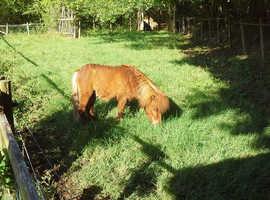 Beautiful Chestnut Child's Pony