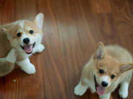 Well home trained Welsh Corgi Puppies