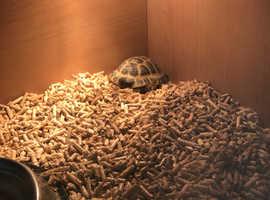 2 x horsefield tortoise