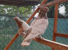 ORIENTAL OWLS **BLONDINETTE  *****