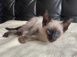 Siamese seal point male kitten beautiful blue eyed cat