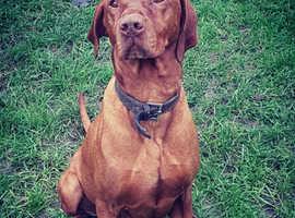 Hungarian vizsla dog for stud.