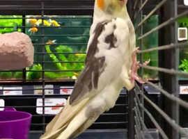 Stunning Coloured Cockatiels