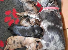 Miniature schnauzer x west highland terrier