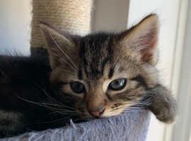 Very cute chunky Tabby mix Mainecoon kitten boy