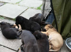 Puppies ready now .. German shepherd X cane corso