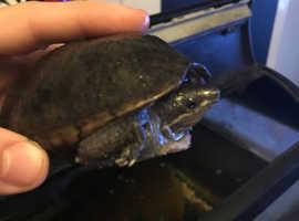 Male musk turtle