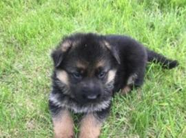 German Shepherd Pups for Sale Both Sexes
