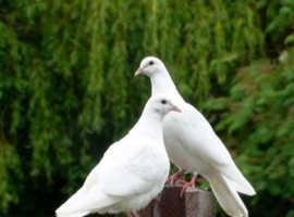 Original White Doves & Faintails