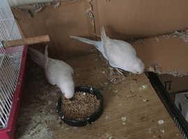2 white ringnecks (male and female)