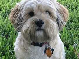 looking for a Lhasa apso for my amazing nan