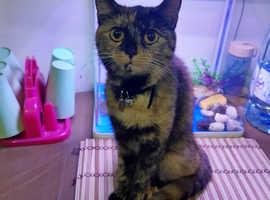 Lost Cat £100 reward