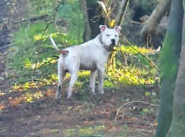 American bulldog x staff (stud only)